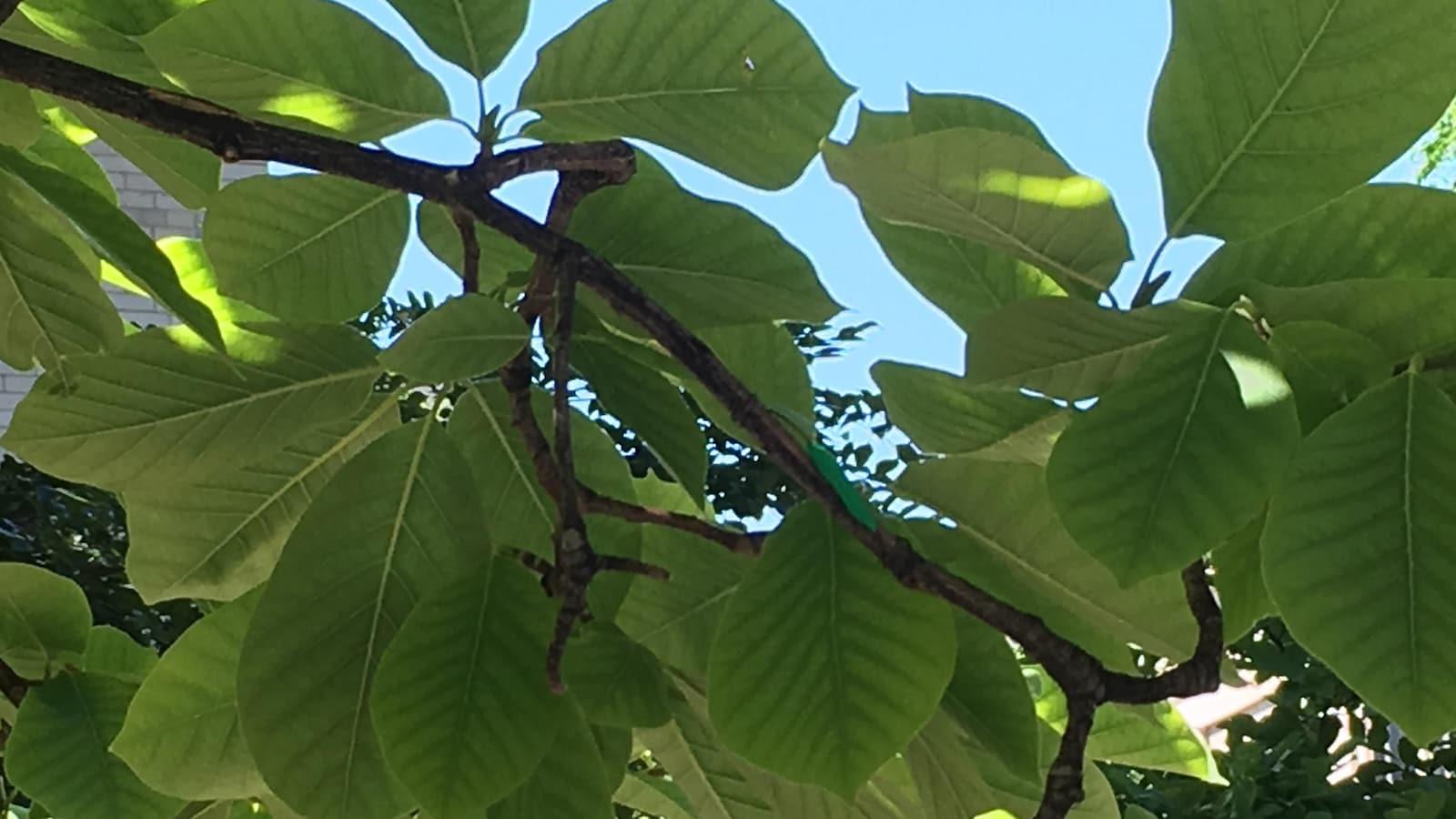 Une fausse chenille dans un arbre.