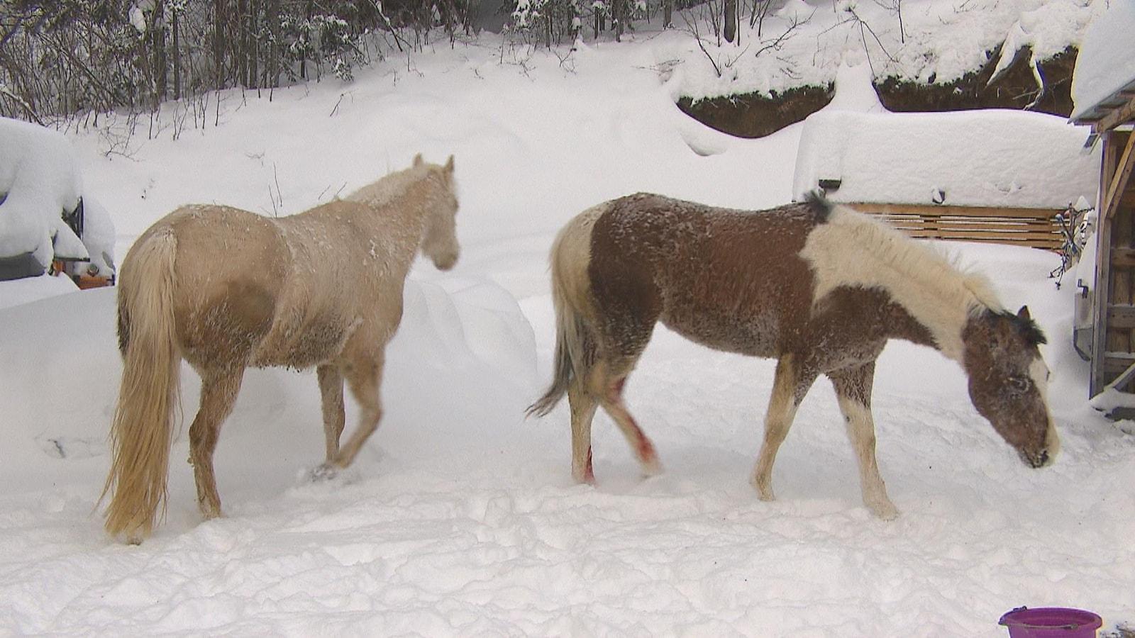 Deux cheveux marchent l'un derrière l'autre dans la neige.