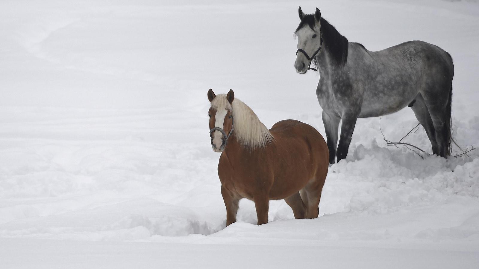 Deux chevaux dans la neige