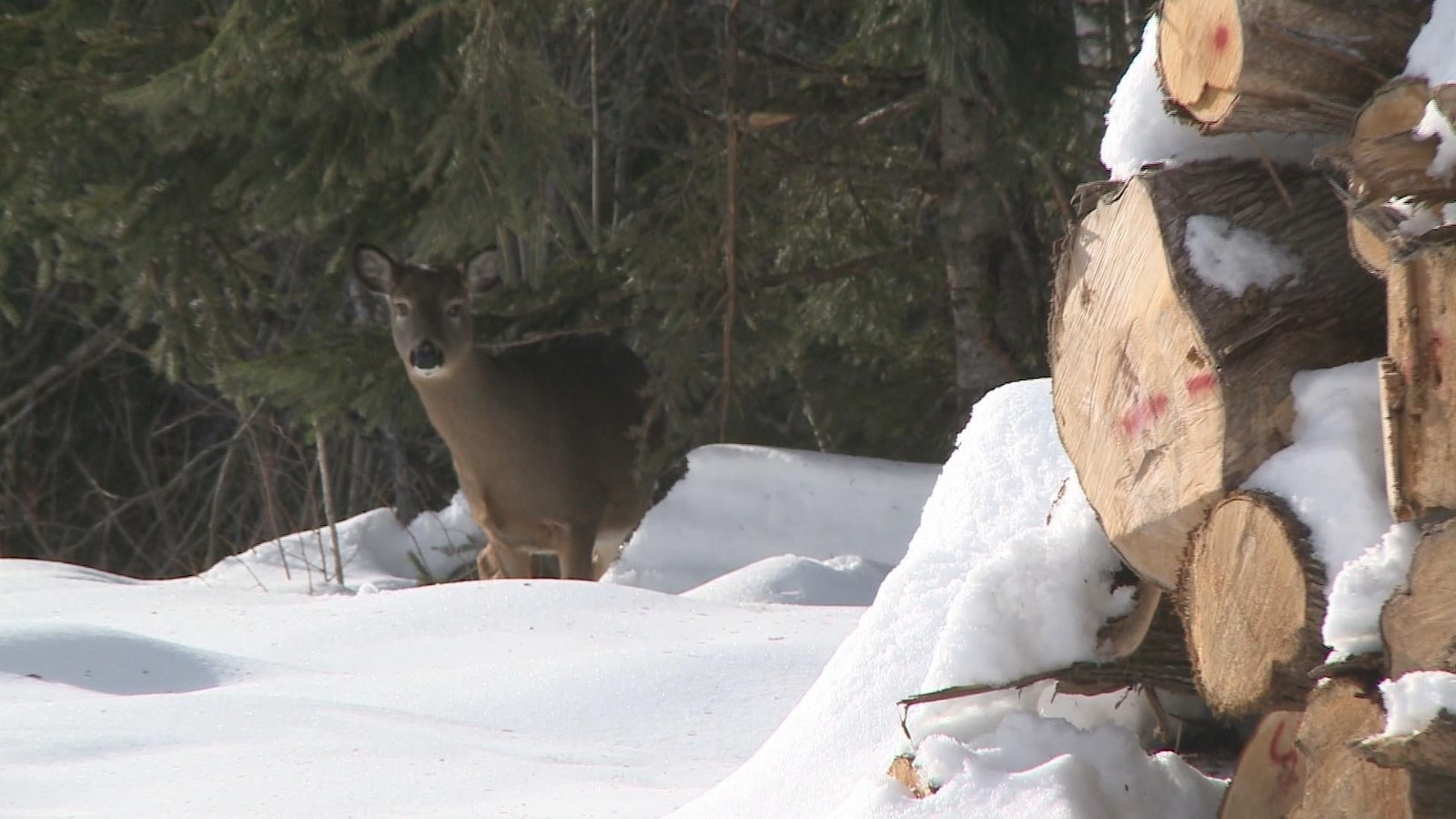 Cerf de Virginie en hiver