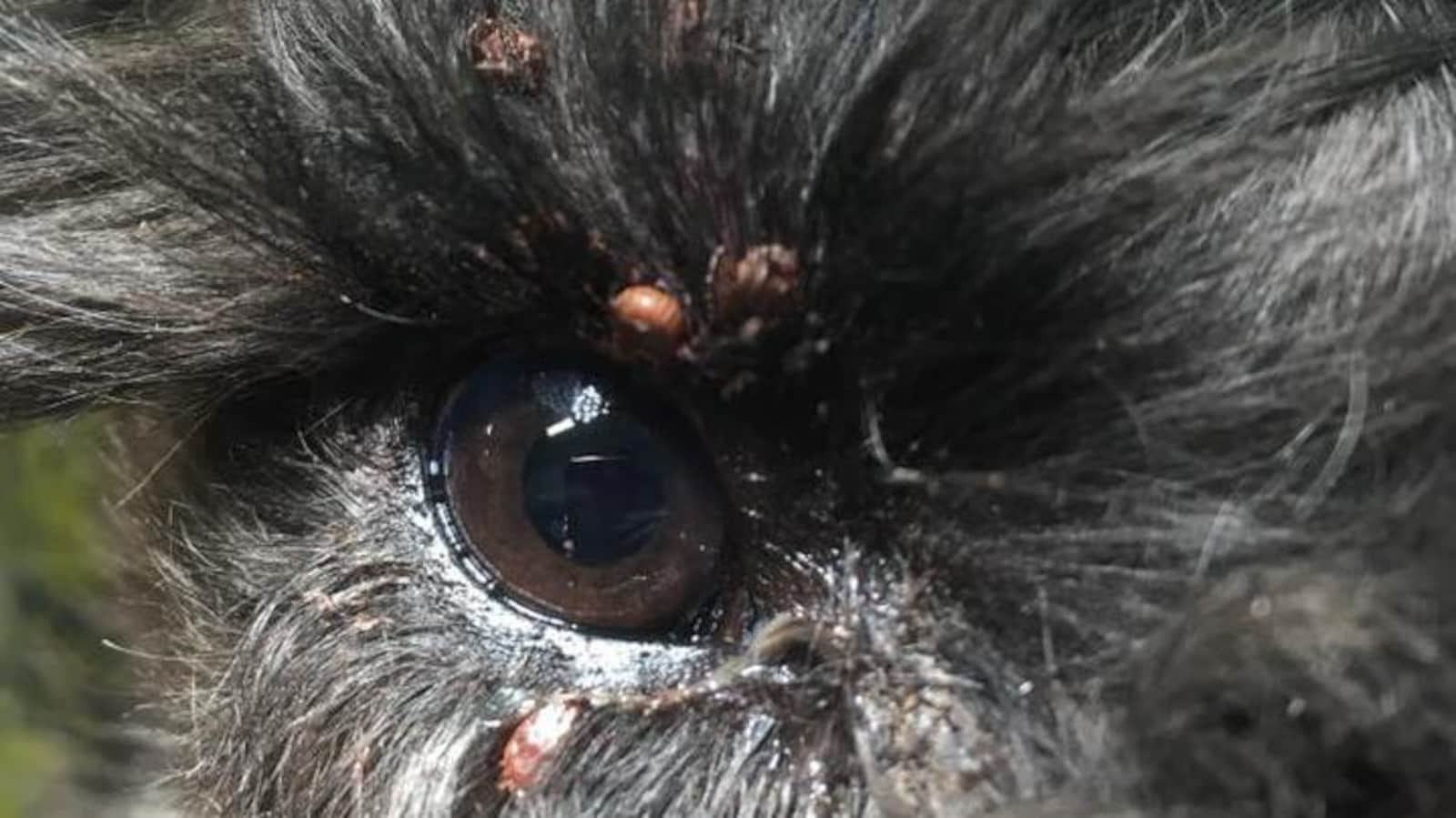 Plusieurs tiques sont accrochées à la peau et aux poils entourant l'oeil d'un chien.