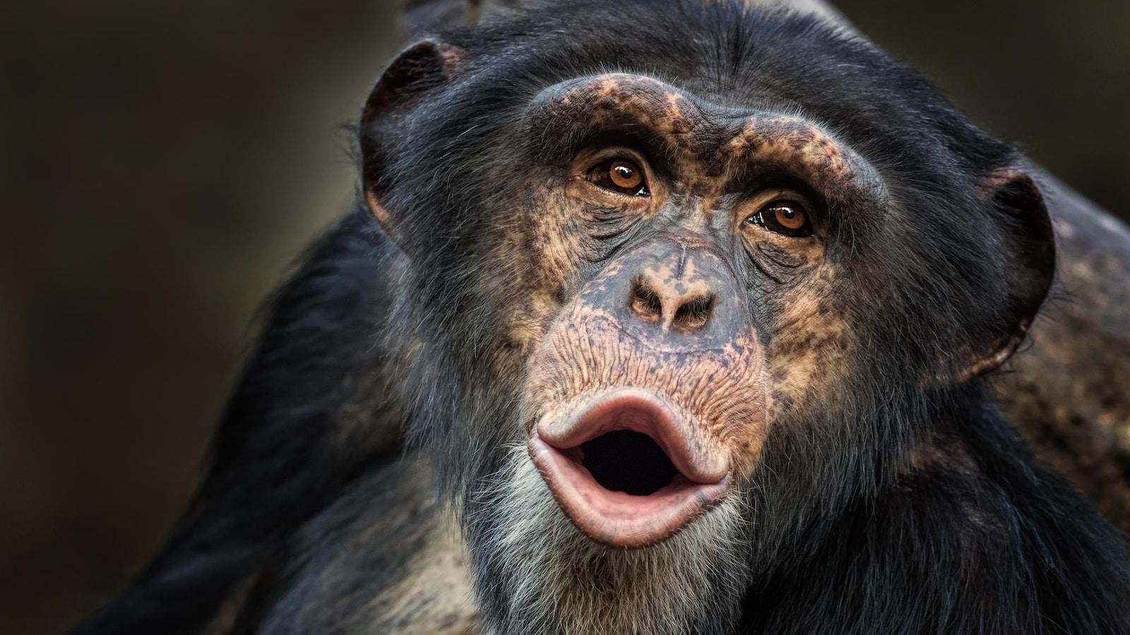 Un chimpanzé commun