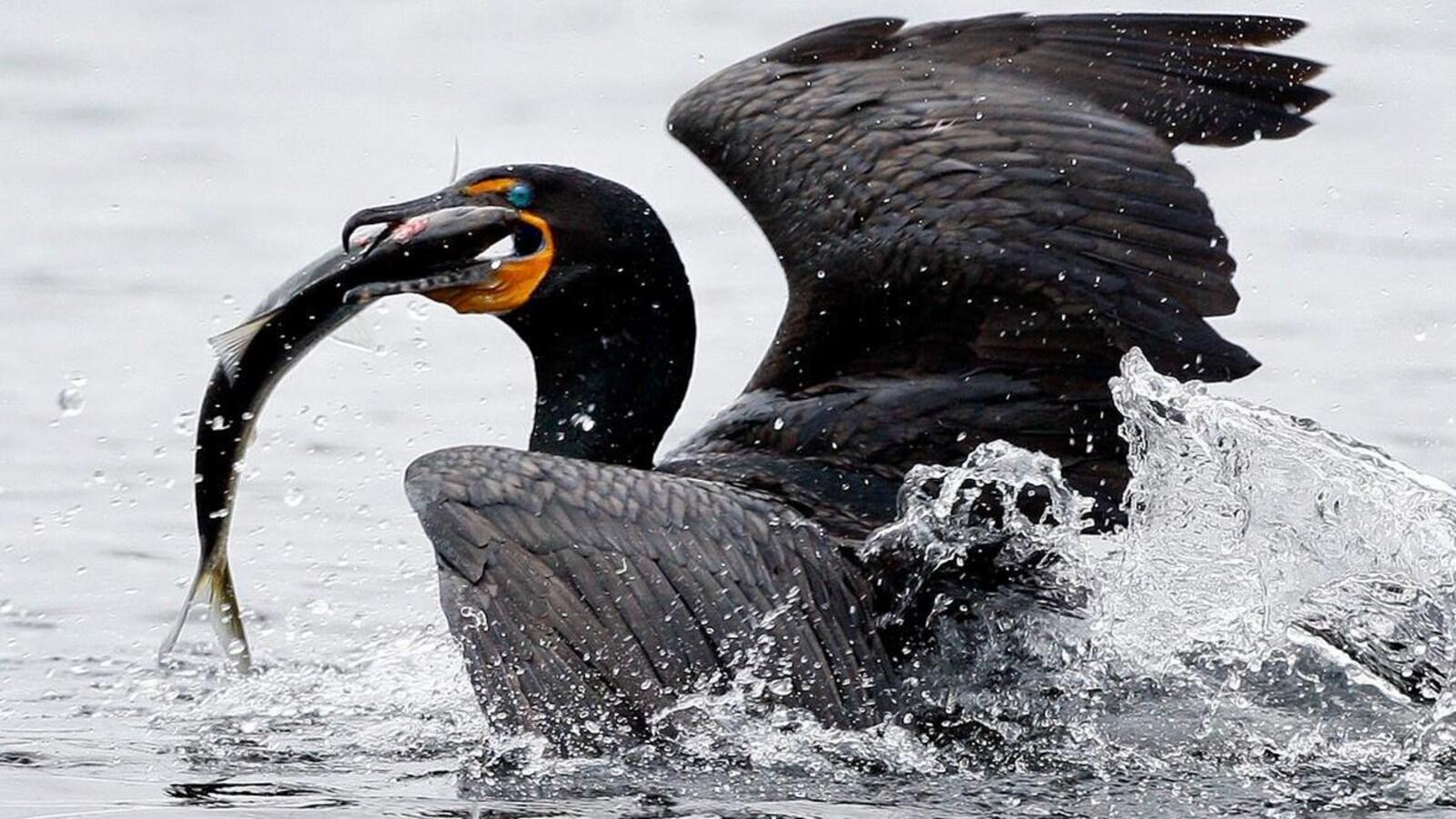 Photo d'un oiseau noir qui tient un poisson dans son bec.