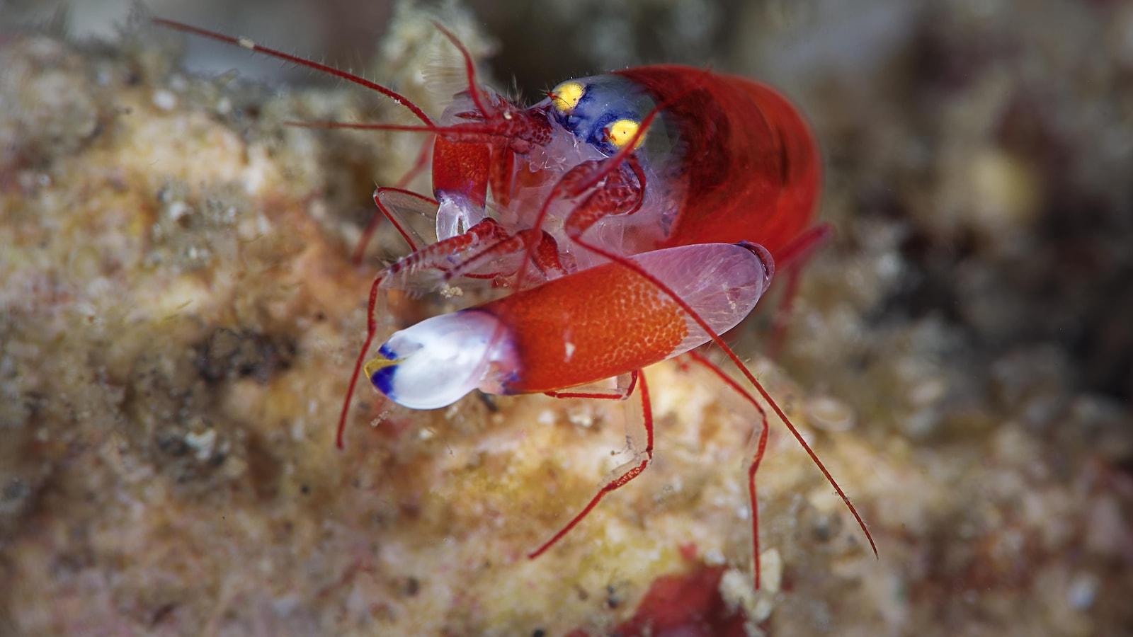 Une crevettes très colorée vue de près.