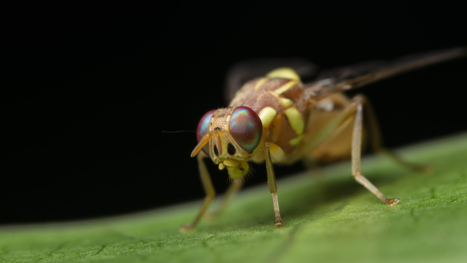 Une mouche drosophile.