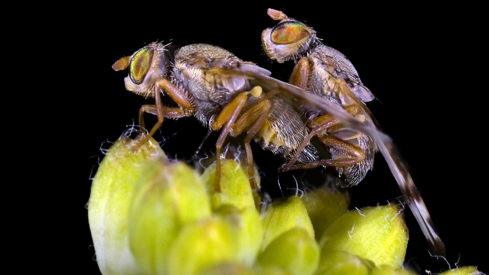 Deux mouches à fruit s'accouplent.