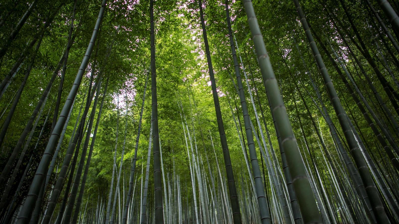 Plan large en contre-plongée montrant des centaines d'arbres.