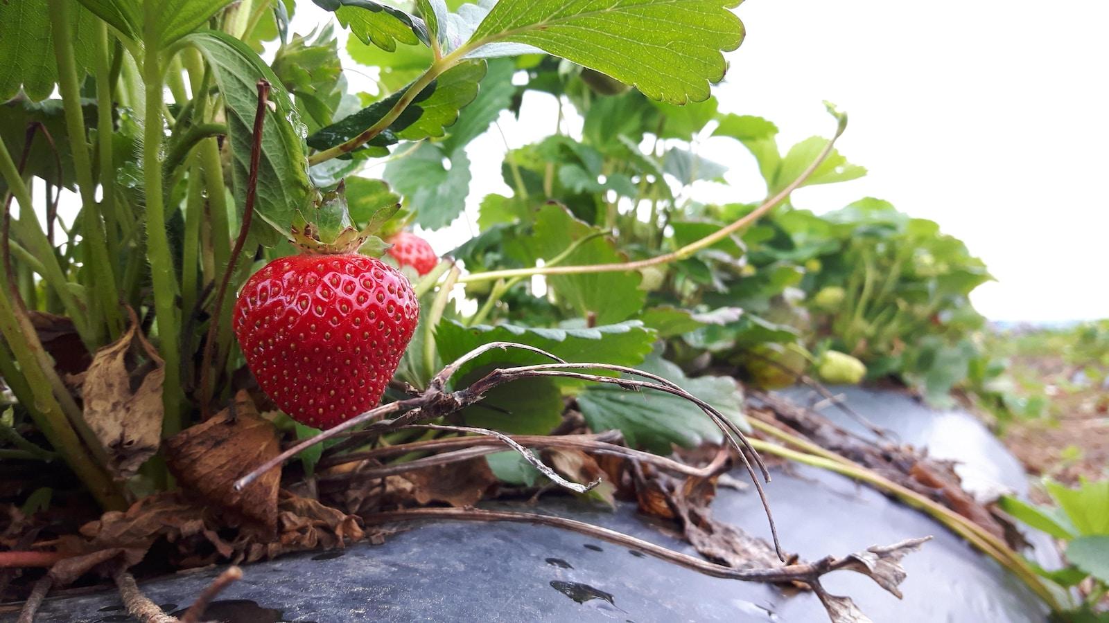 Une fraise rouge sur un plant.
