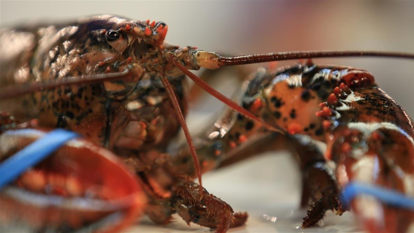 Un homard vivant.