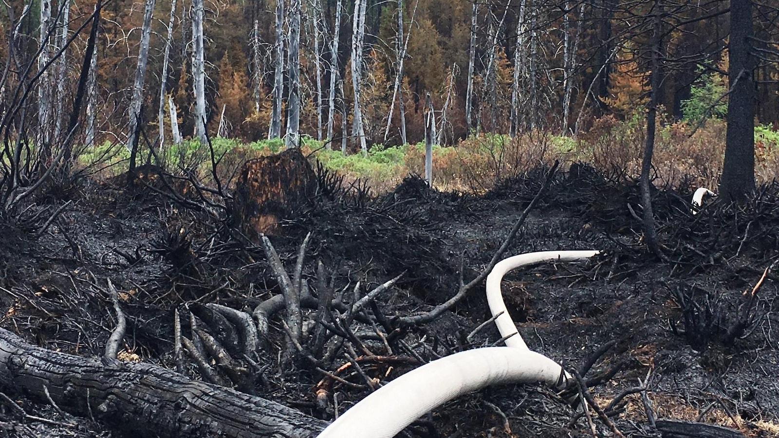 Un boyau d'arrosage dans la forêt brûlée de Labrieville.