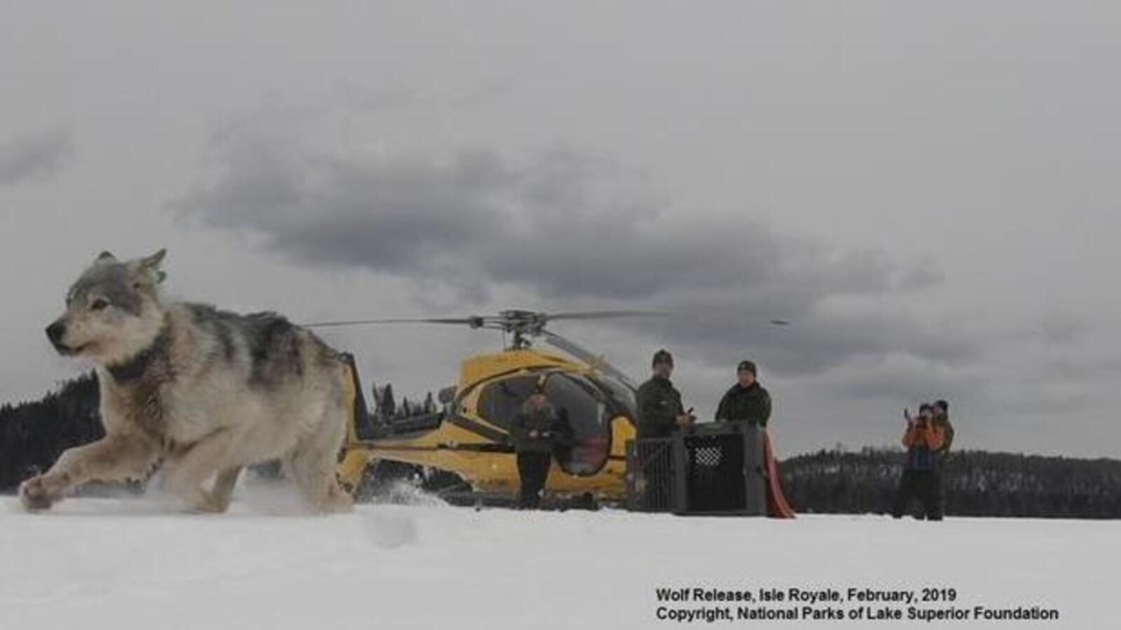 Un loup court dans la neige avec en arrière-plan un hélicoptère et des gens qui observent la scène.