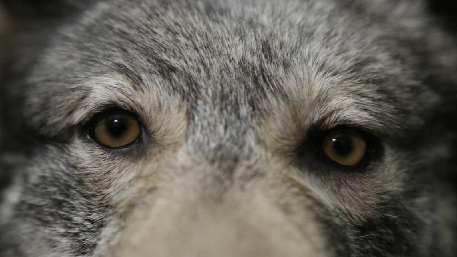 Un gros plan du visage d'un loup.