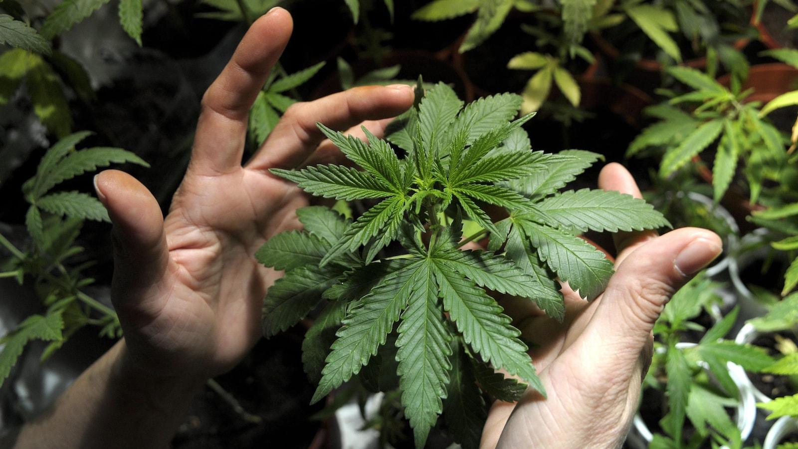 Des feuilles de cannabis