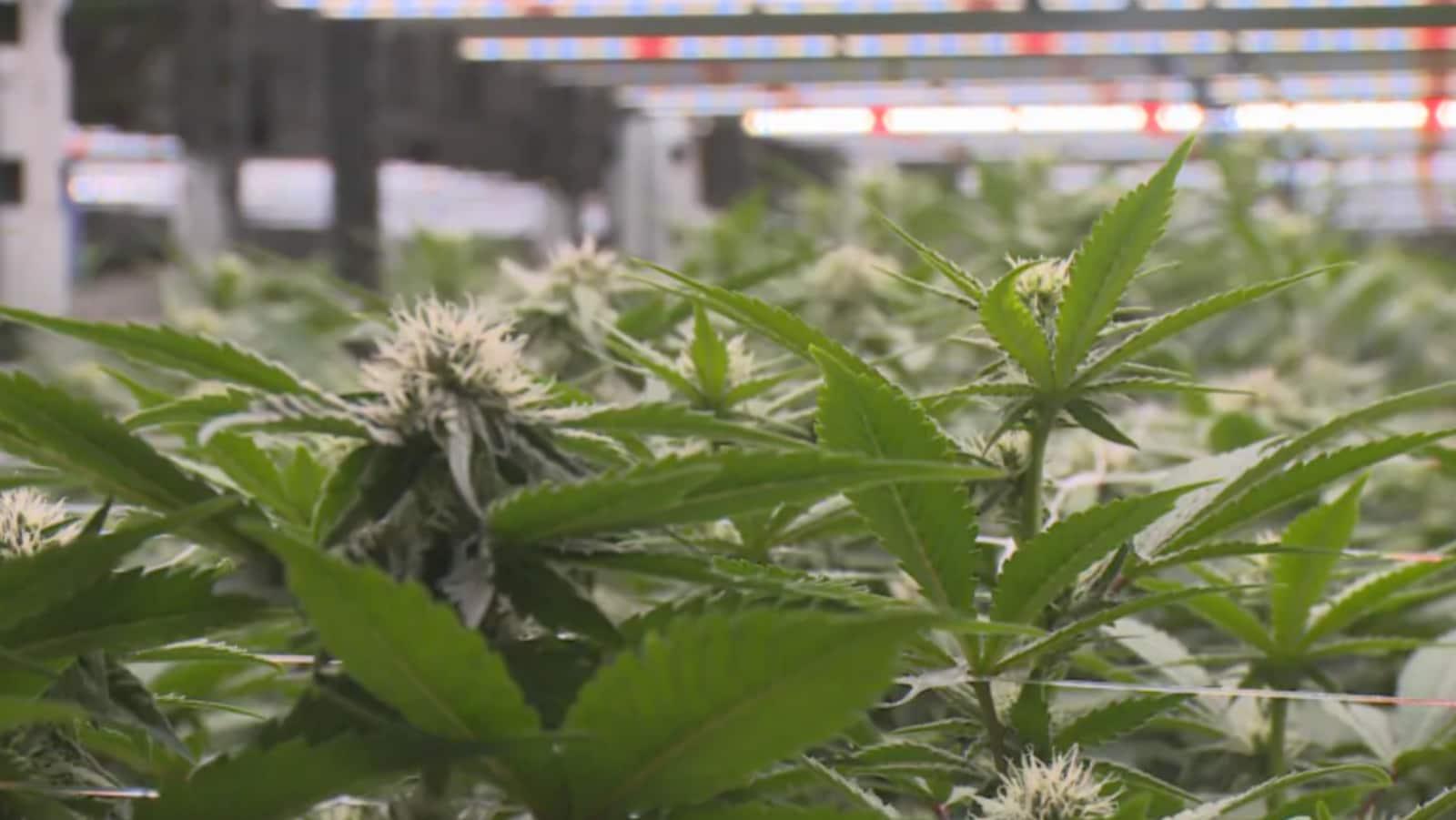 Un plan de cannabis en gros plan.