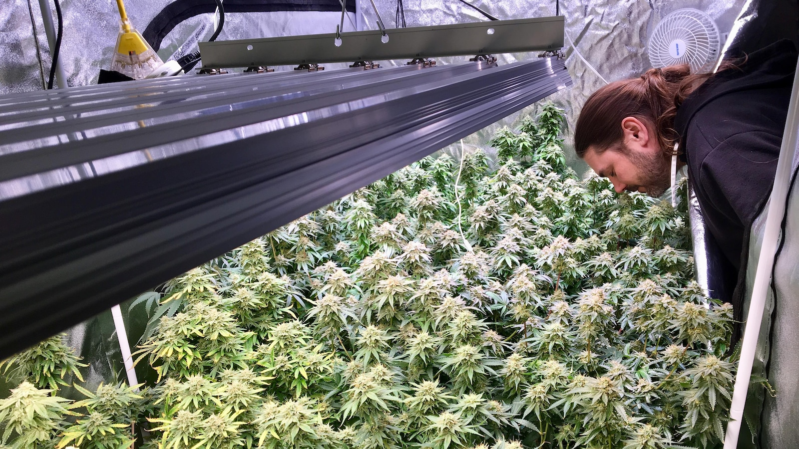 Mike Chyczij sent des feuilles de marijuana dans une tente hermétique.