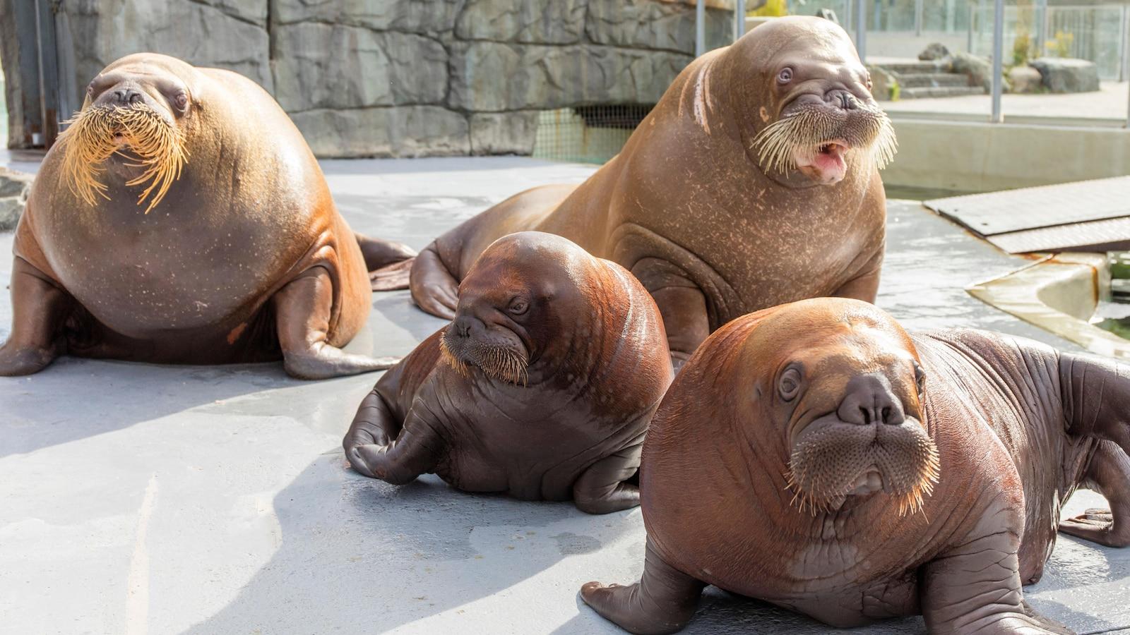 Des morses à l'Aquarium du Québec