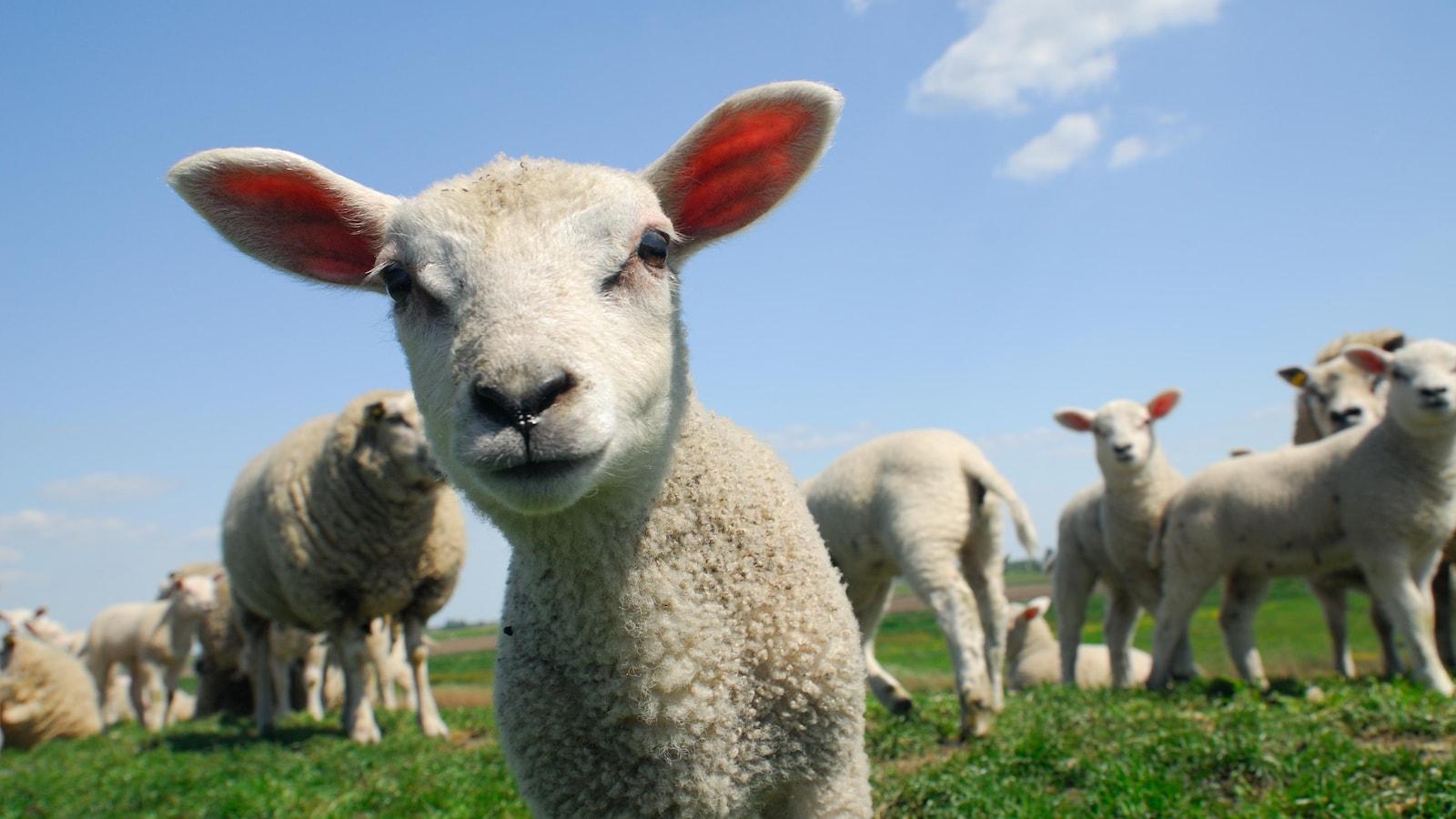 Un agneau curieux regarde la caméra, d'autres moutons en arrière-plan.