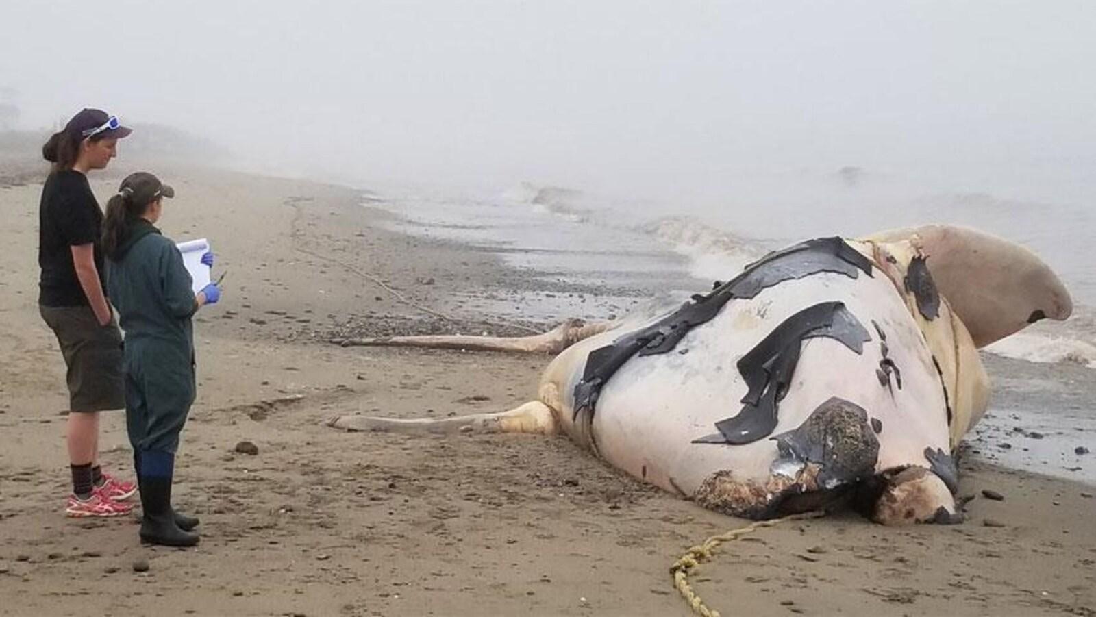 Cette baleine noire femelle, âgée de deux ans, est morte empêtrée dans de l'équipement de pêche.
