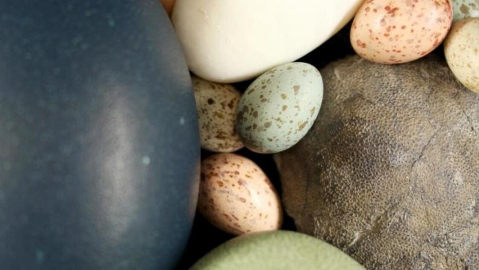 Un assortiment d'œufs de paléognathes et de néognathes et un oeuf de théropode fossile (à droite).