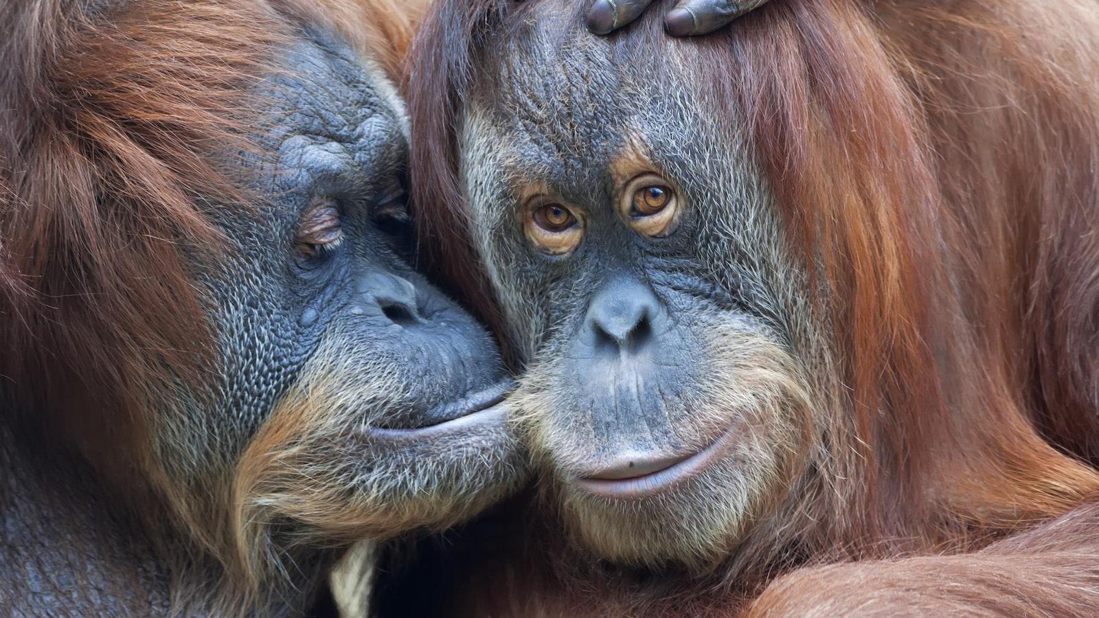 Une mère orang-outan embrasse sa fille, également adulte, sur la joue.