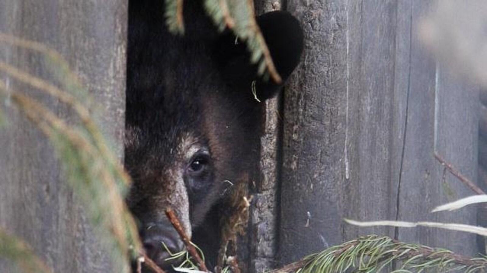 Un ours noir sort sa tête d'une cabane de bois.