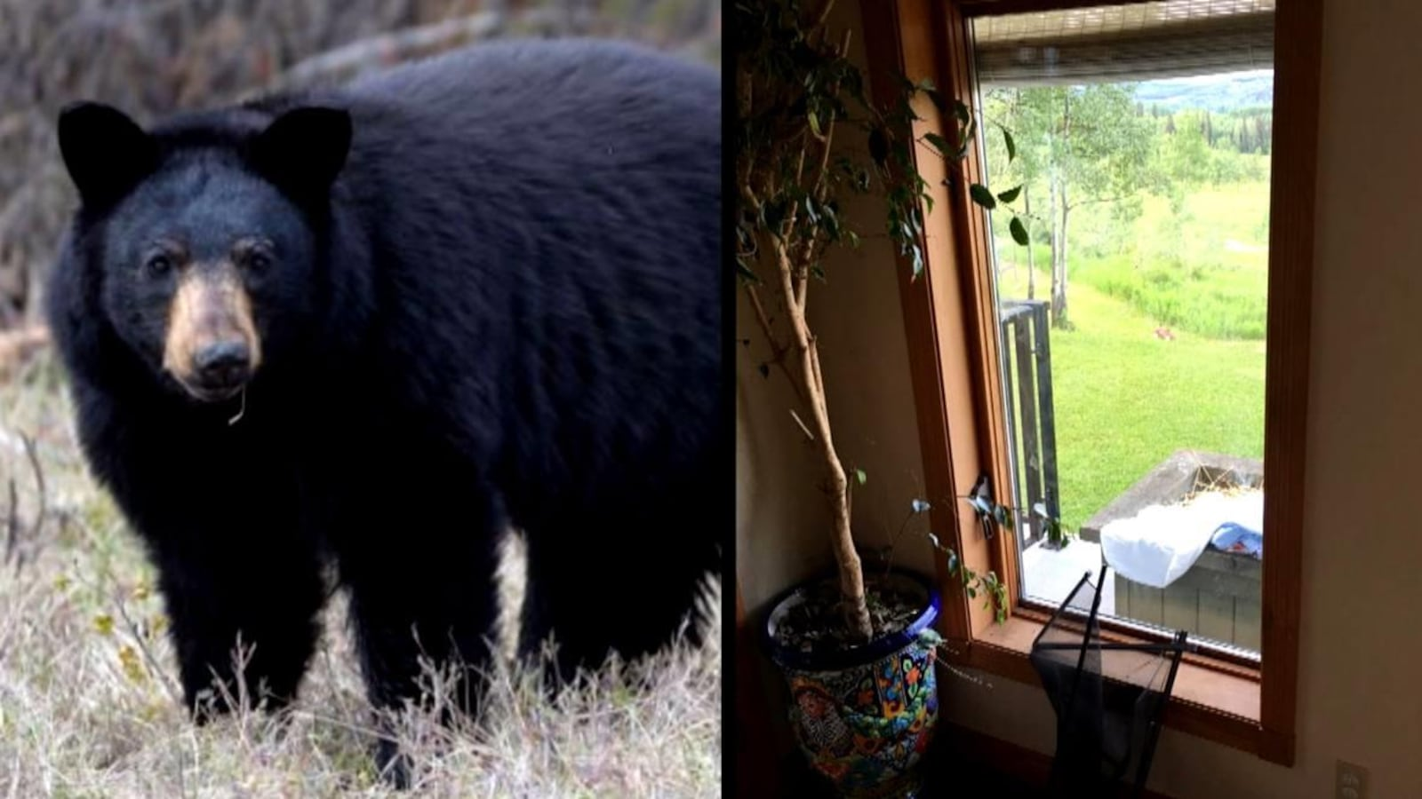À gauche, un ours noir dans un champ. À droite, une fenêtre dont le moustiquaire a été arraché.