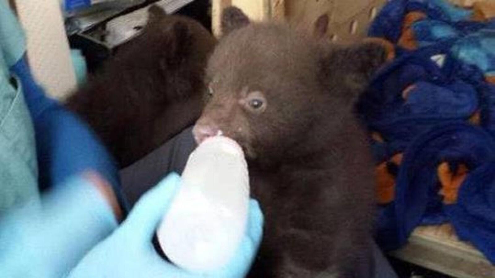 Les oursons retrouvés dans une toilette à Banff sont arrivés au refuge d'Aspen Valley en Ontario.
