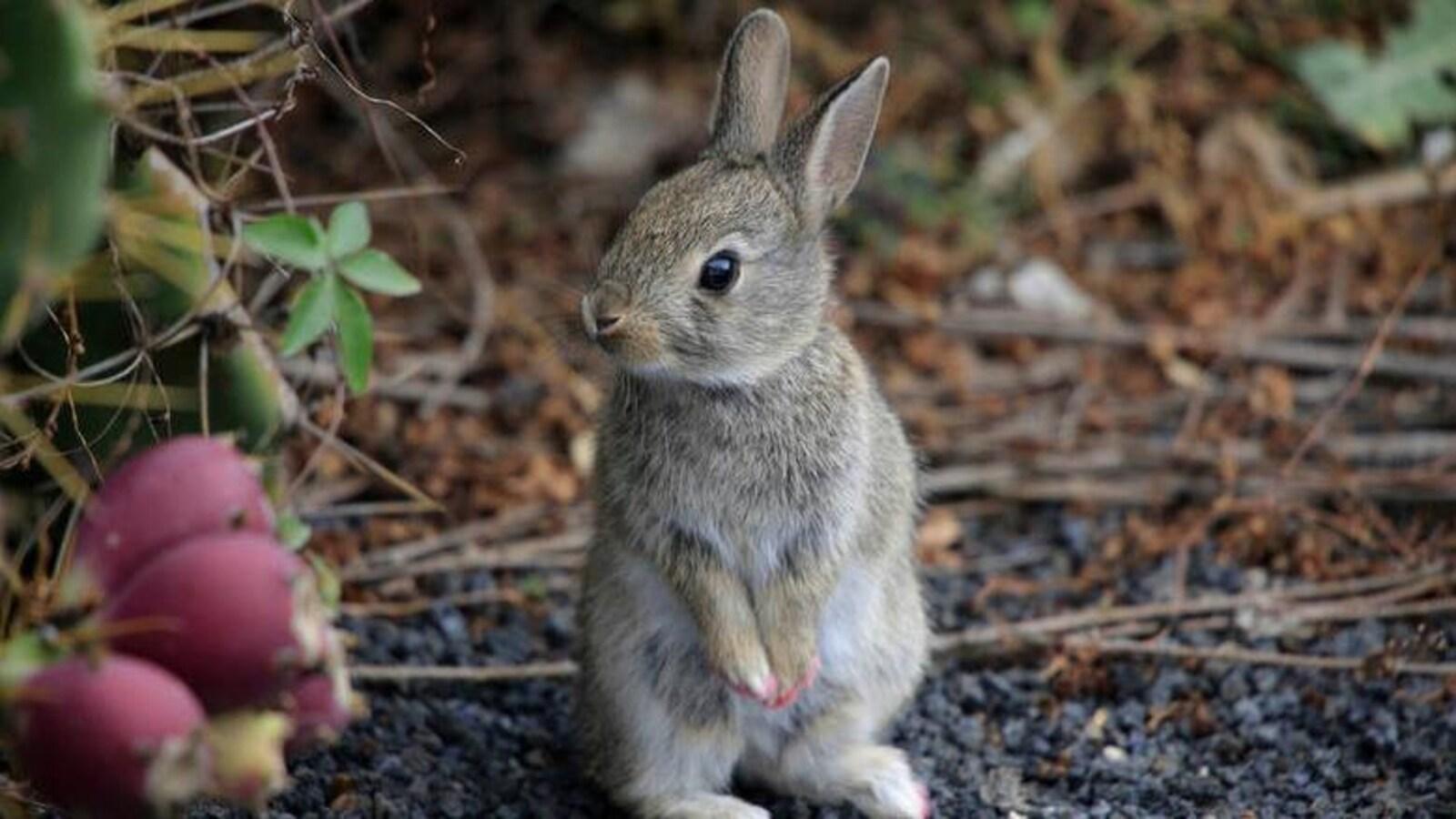 Un petit lapin debout sur ses pattes arrières près d'un buisson et des brindilles.