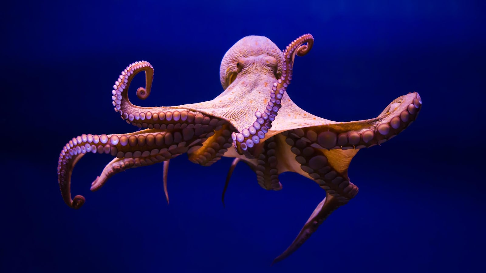 Une pieuvre dans l'eau