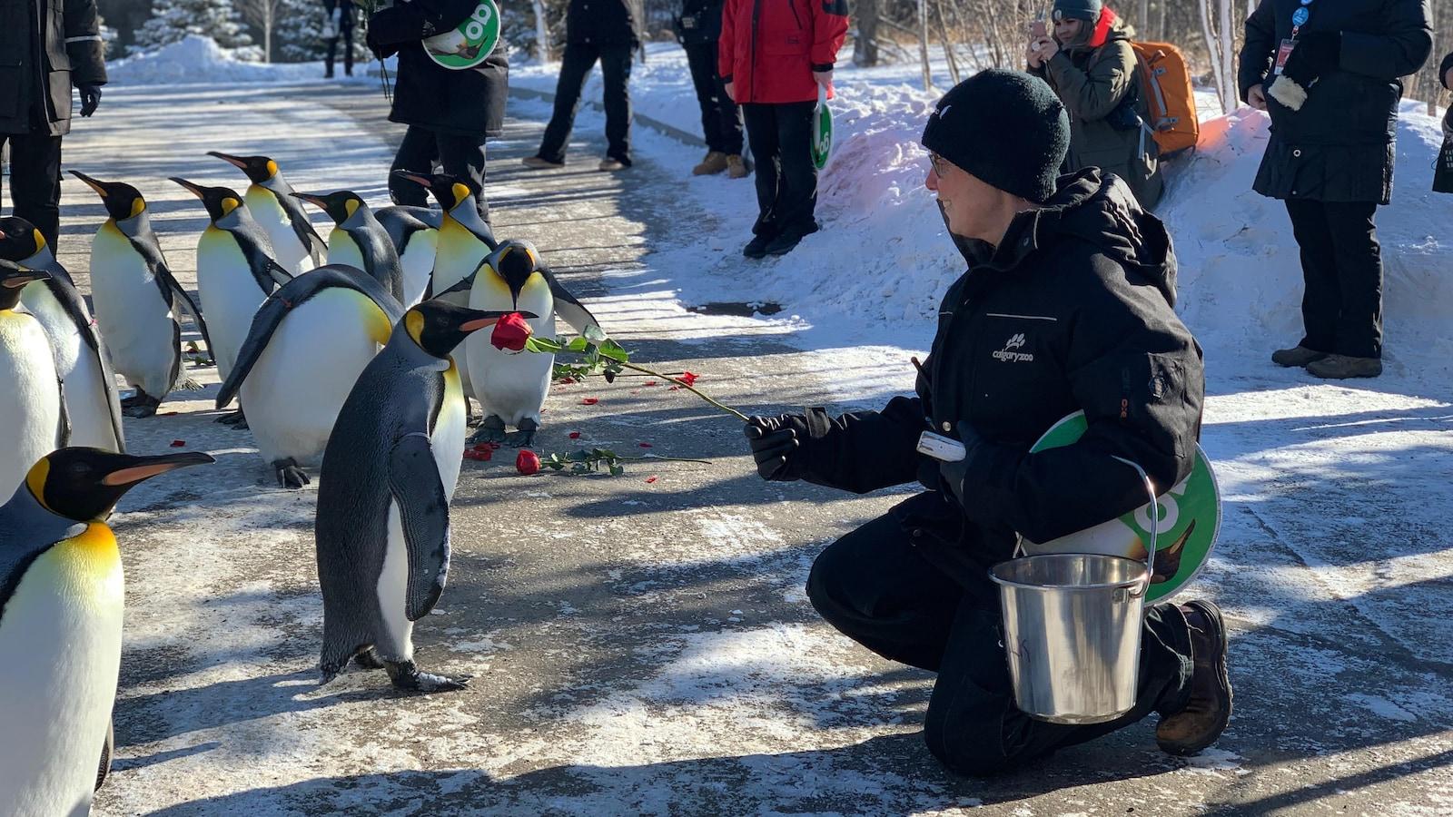 Une employée du zoo de Calgary offre une rose à un manchot royal lors du jour de la Saint-Valentin.
