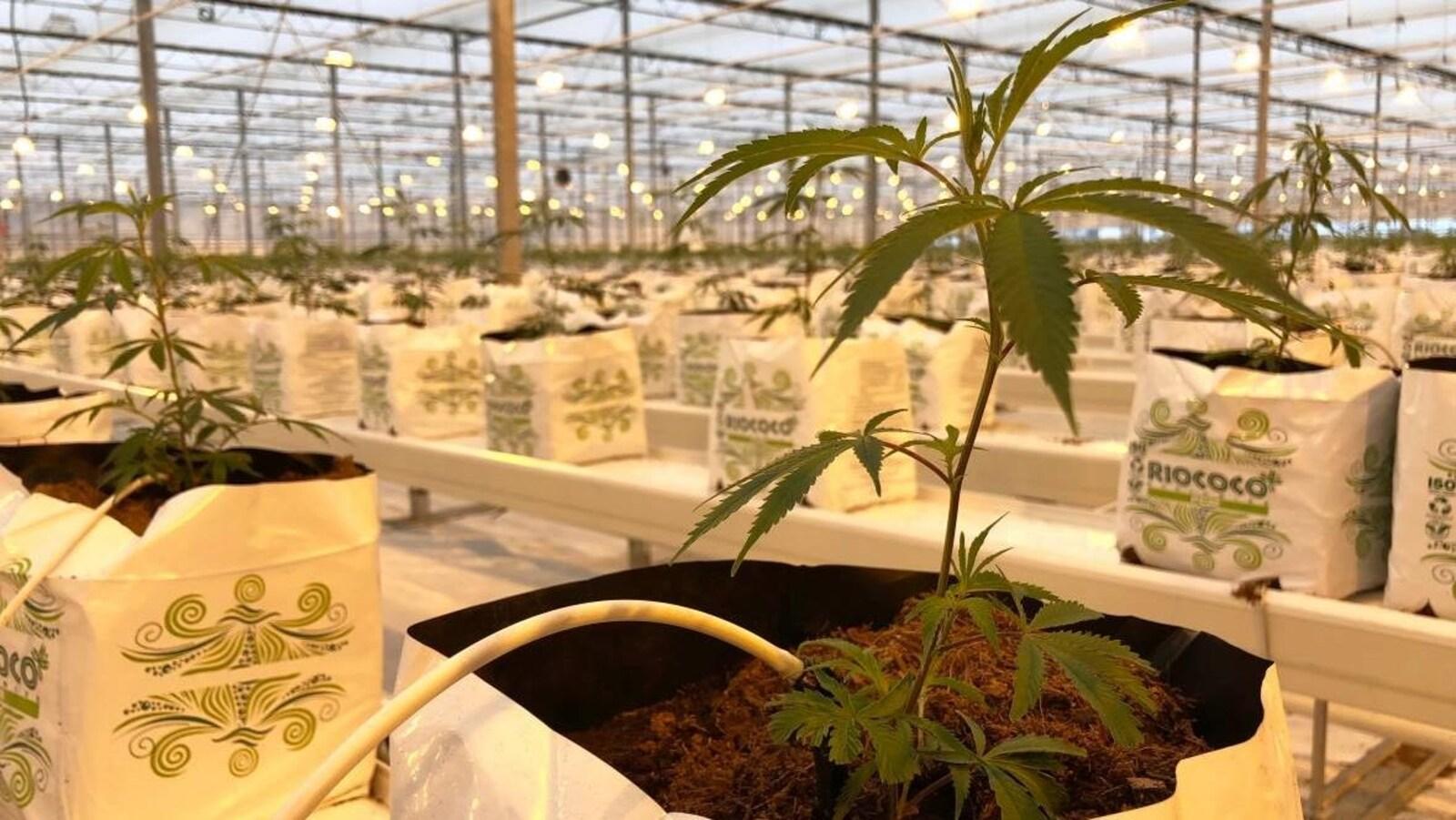 Des plants de cannabis dans une serre