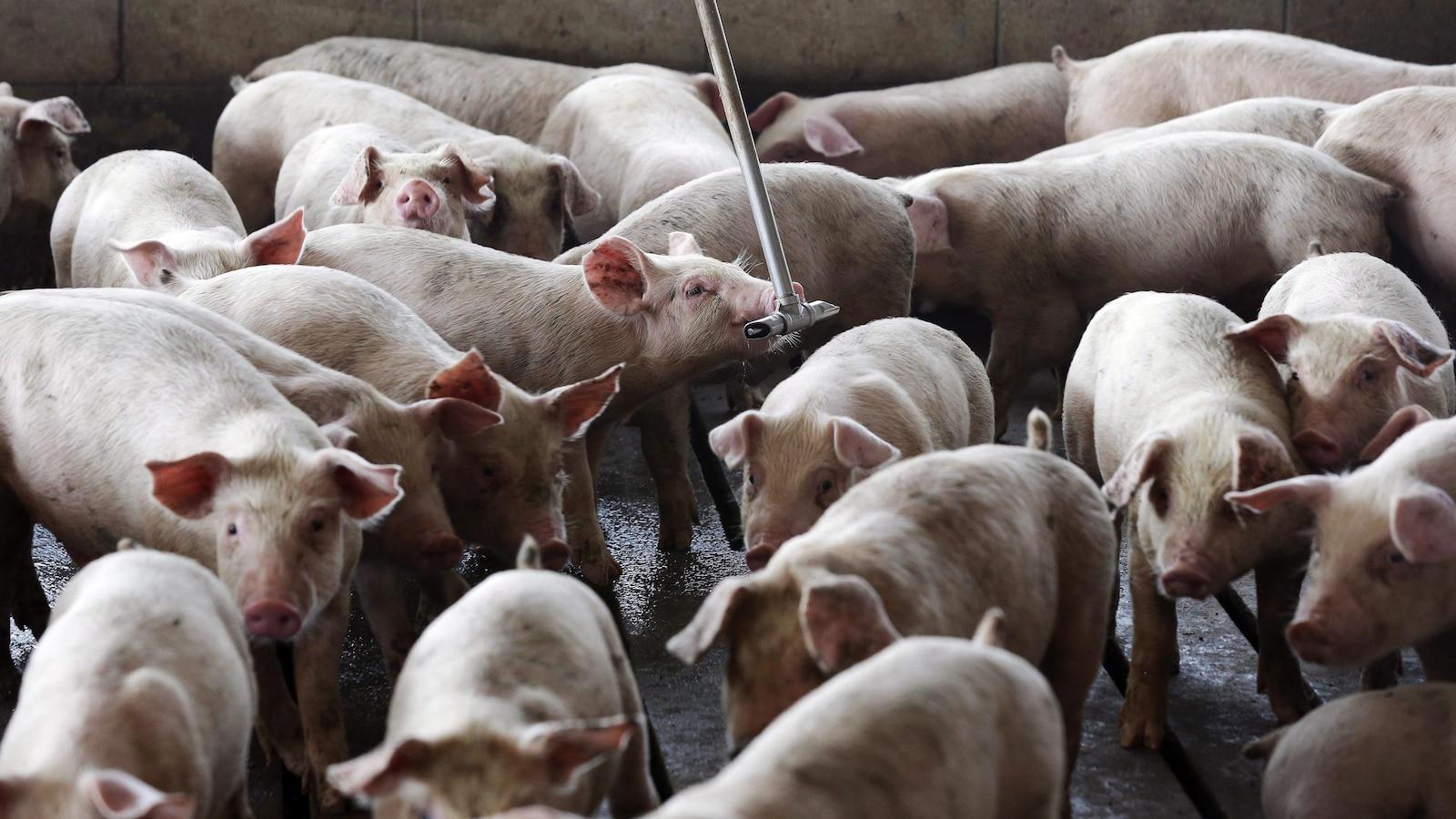 Des cochons dans une porcherie.