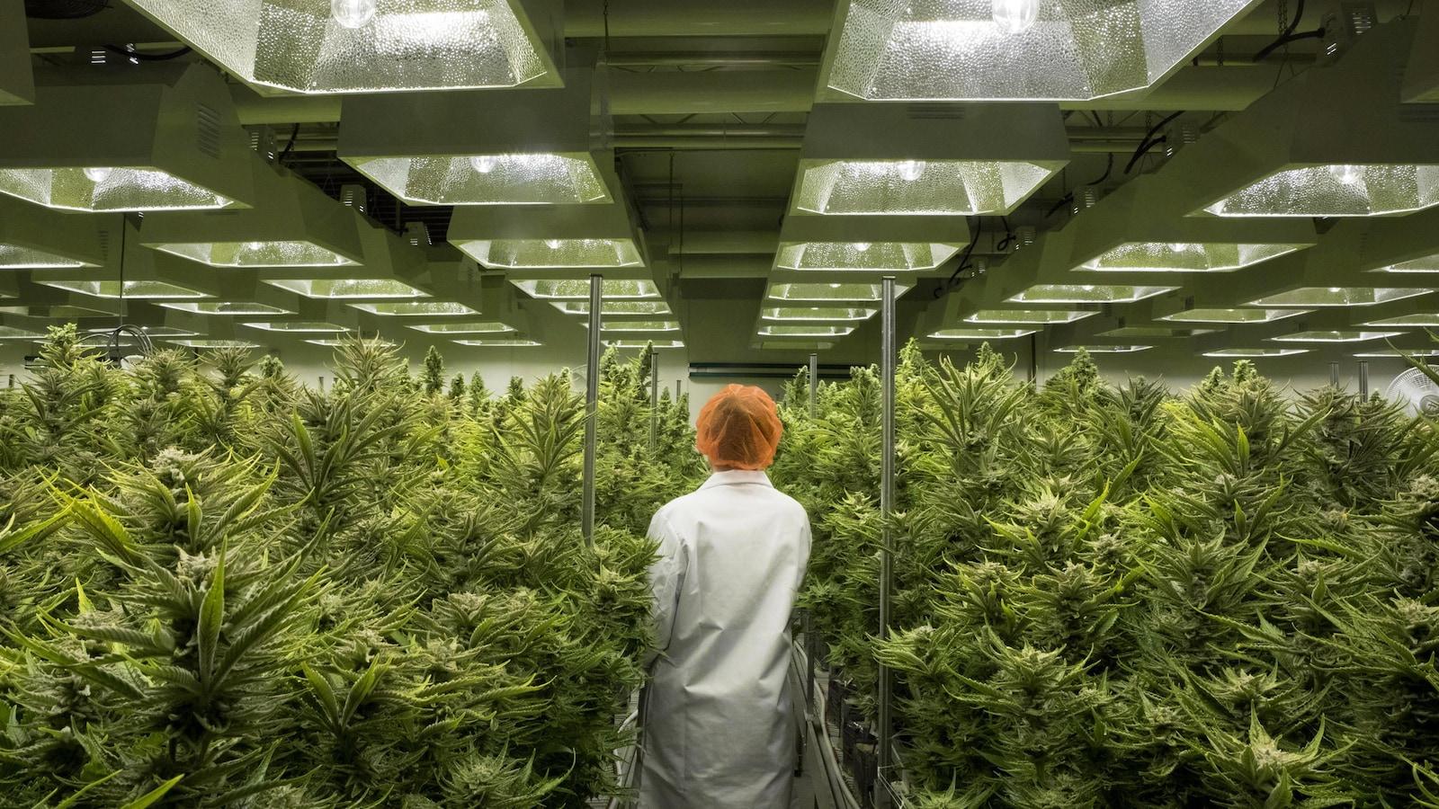 Une femme marche entre des plants de cannabis dans une serre.