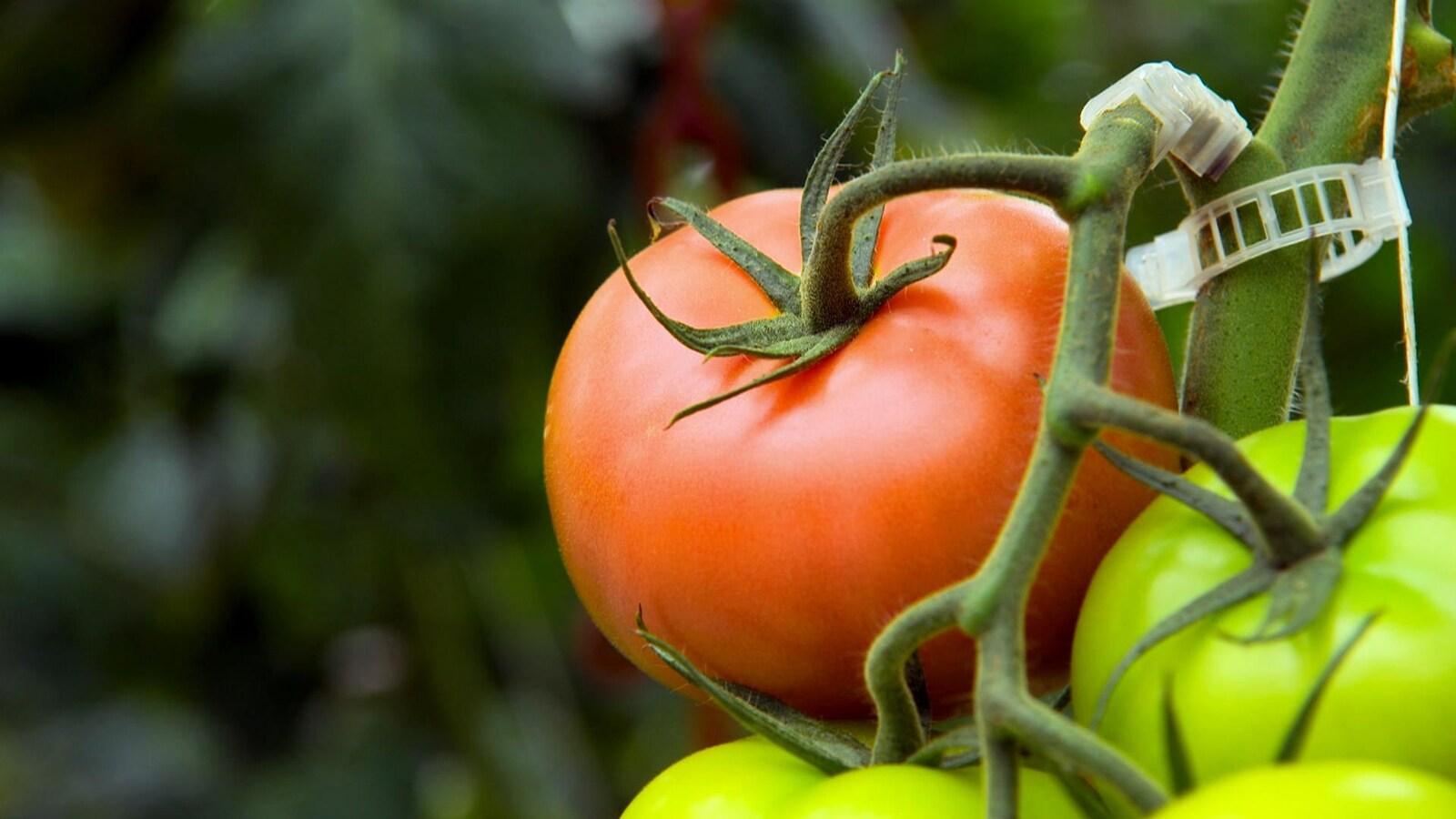 Une tomate de vigne