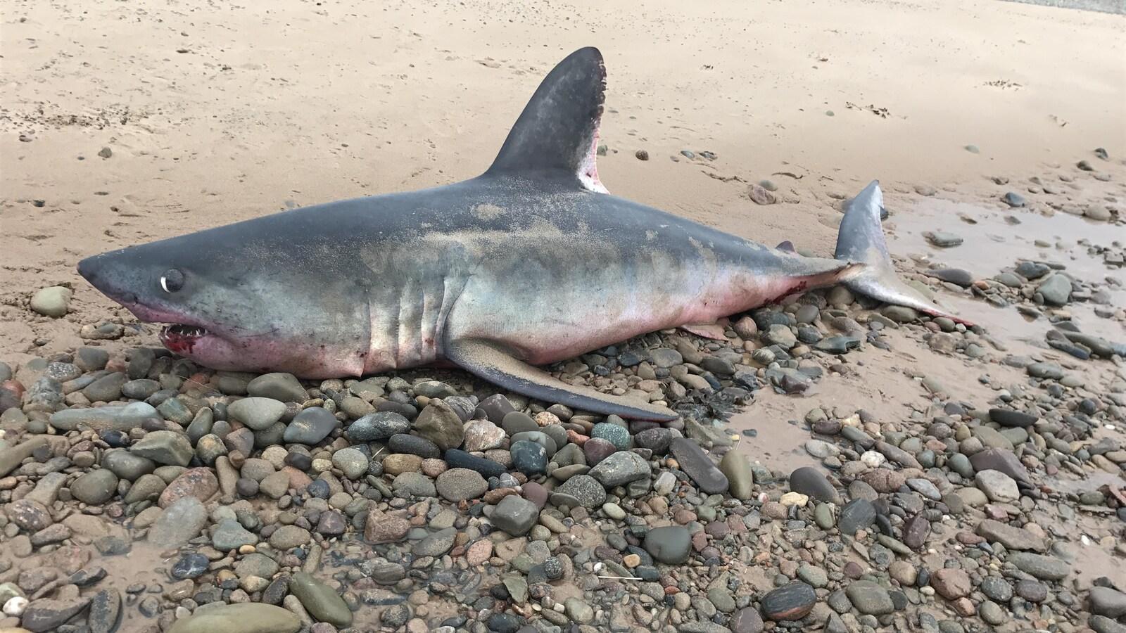 Un requin-taupe commun s'est échoué sur une plage d'Inverness en Nouvelle-Écosse.