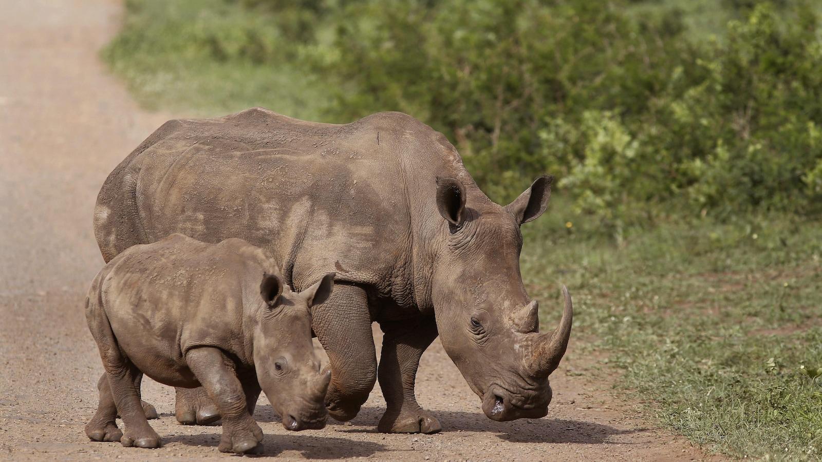 Deux rhinocéros d'Afrique du Sud