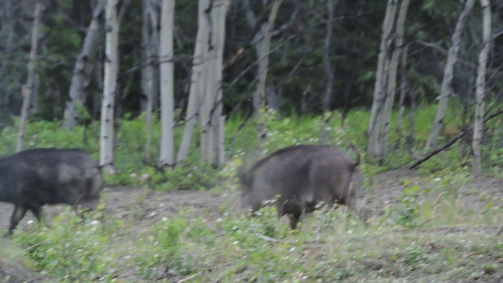 Image floue de deux sangliers dans la forêt.
