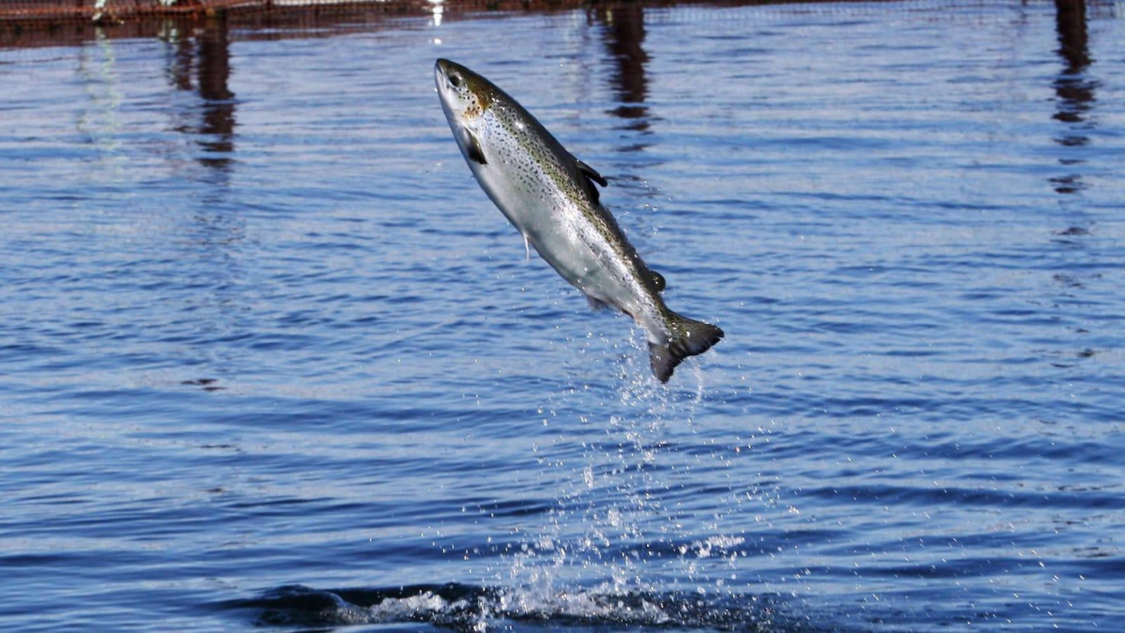 Un saumon de l'Atlantique qui saute hors de l'eau