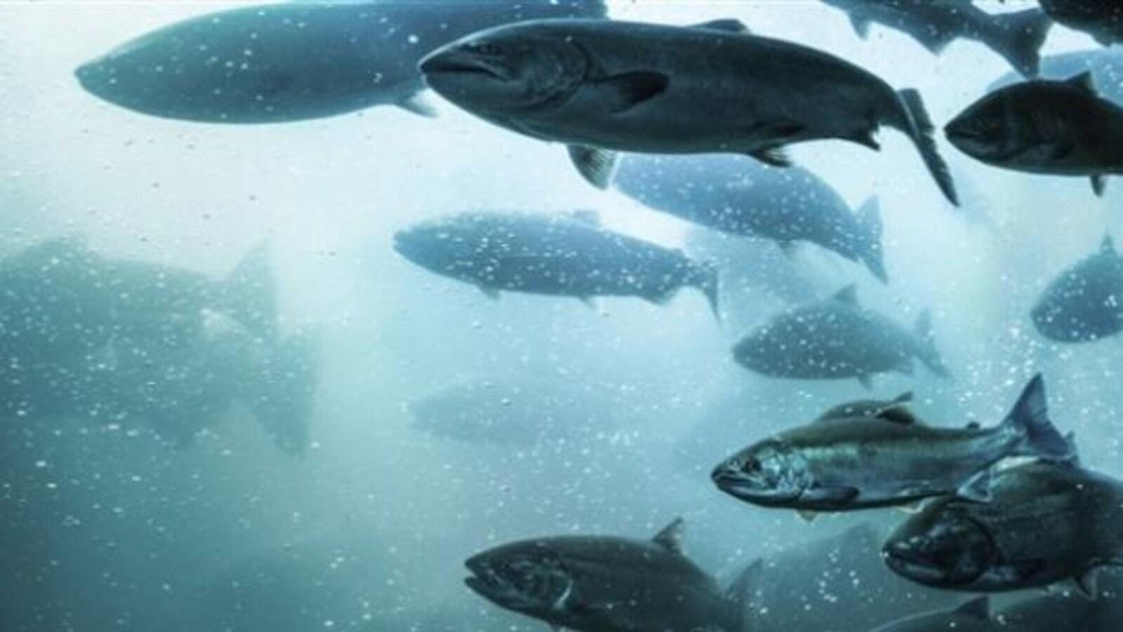 Des saumons sont en train de nager.