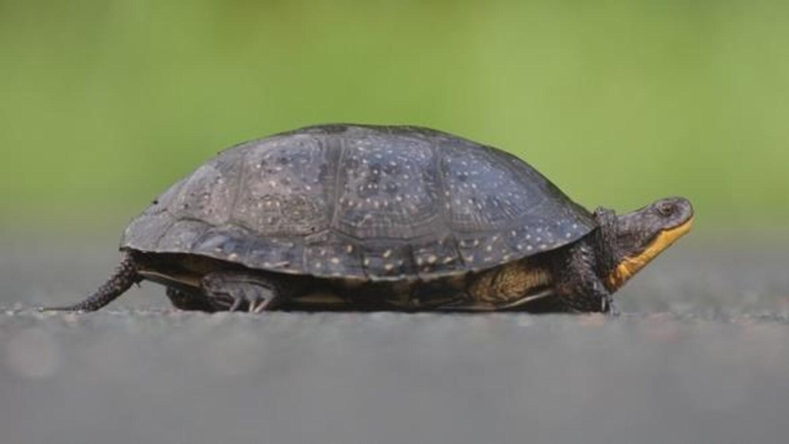 Une tortue mouchetée adulte.