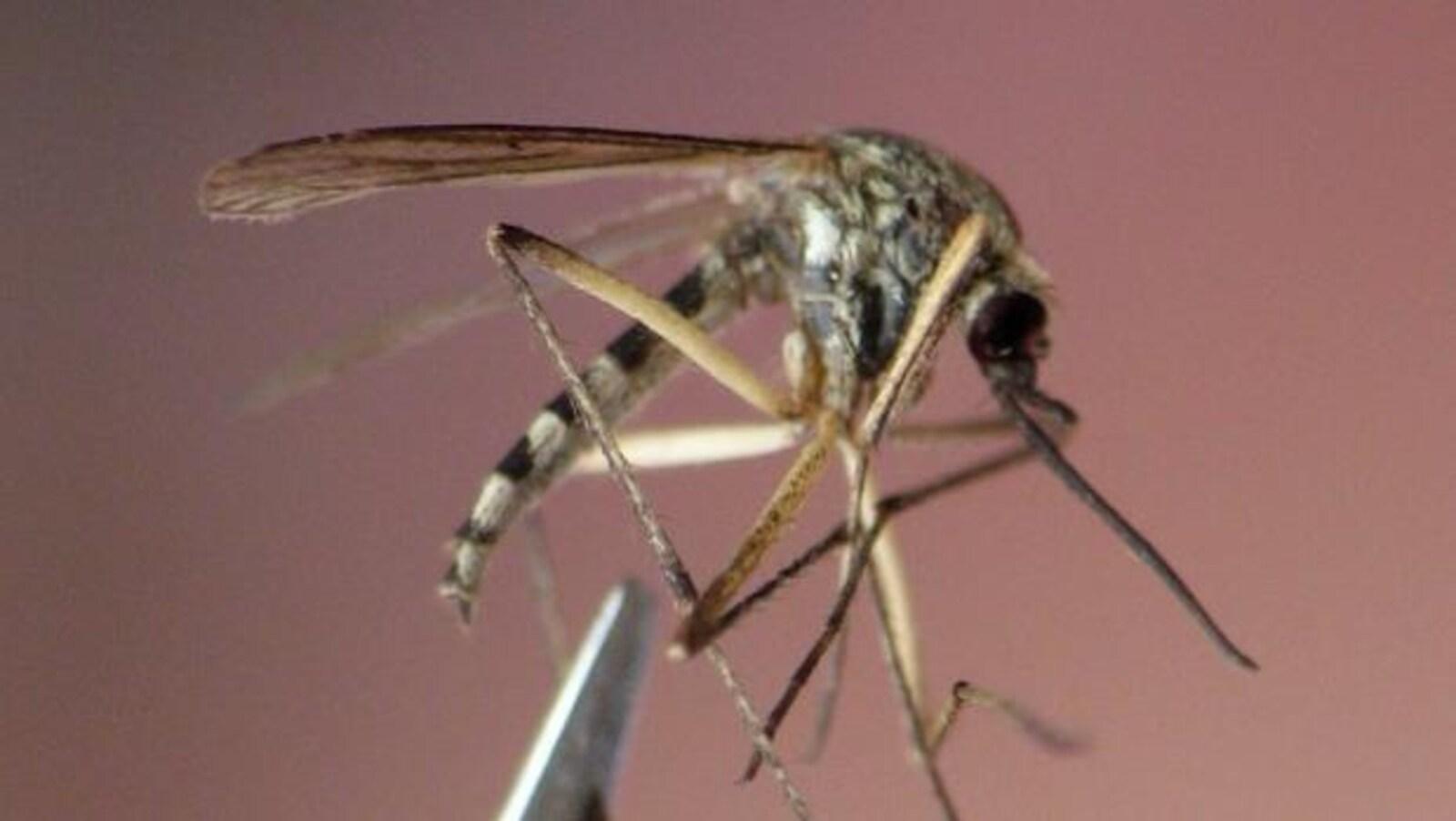 Un moustique adulte