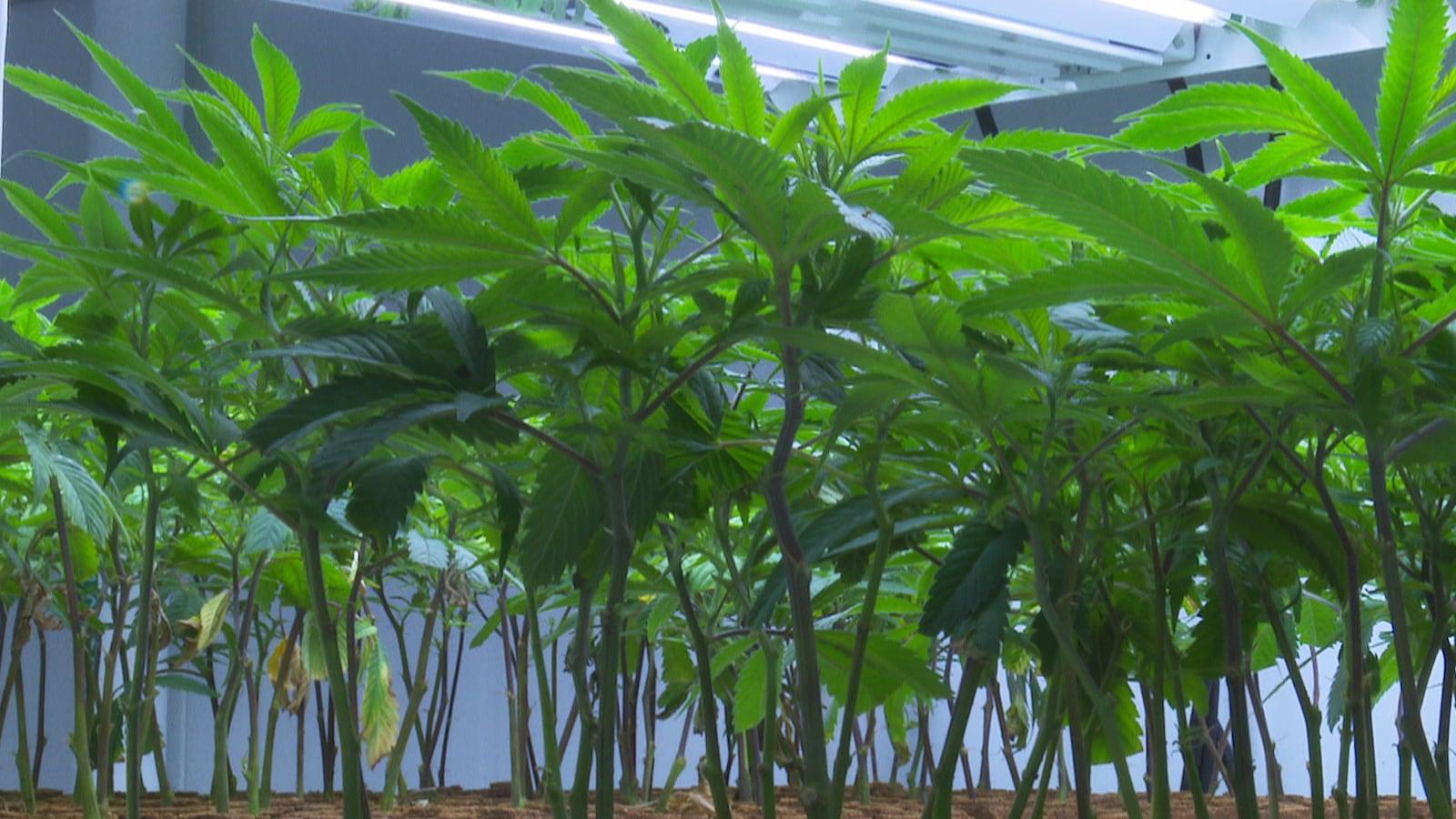 Des plants de cannabis cultivés dans l'usine