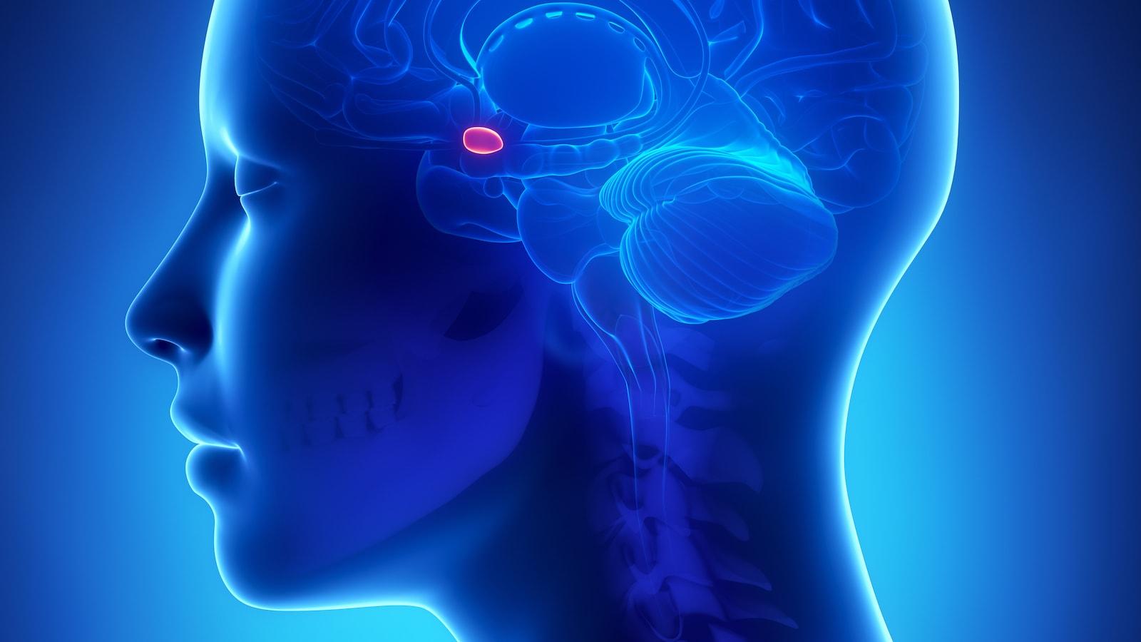 L'amygdale se situe au centre du cerveau.