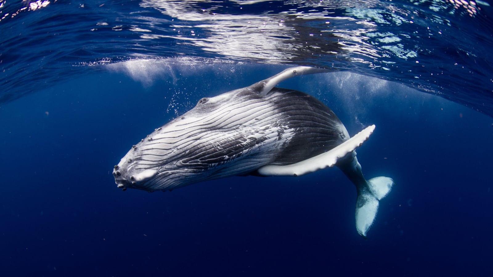 Vue sous-marine de l'immense cétacé.