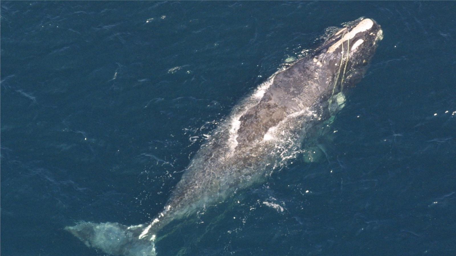 Baleine noire empêtrée dans des cordages de pêche.