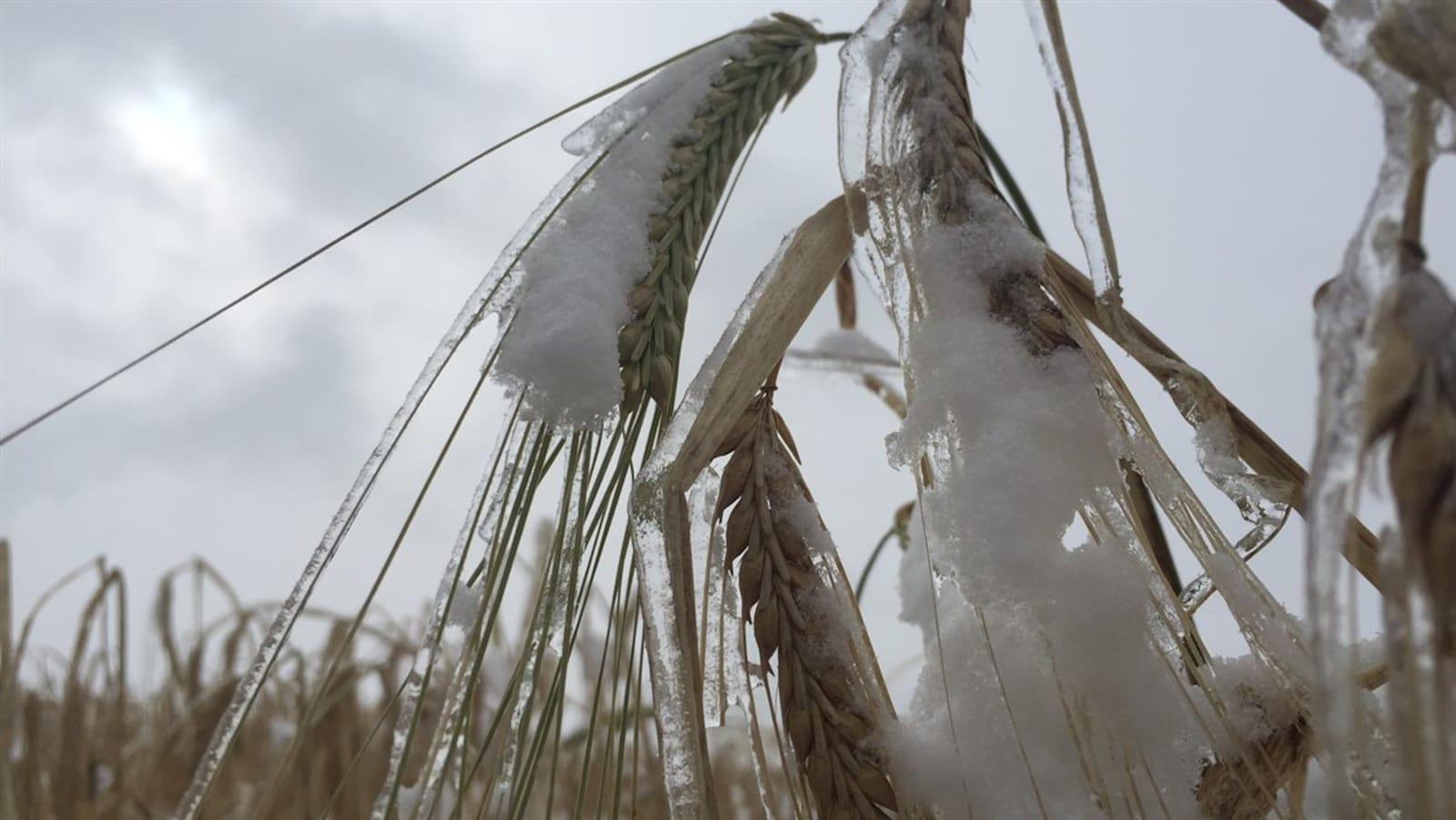 Une récolte de blé sous la neige