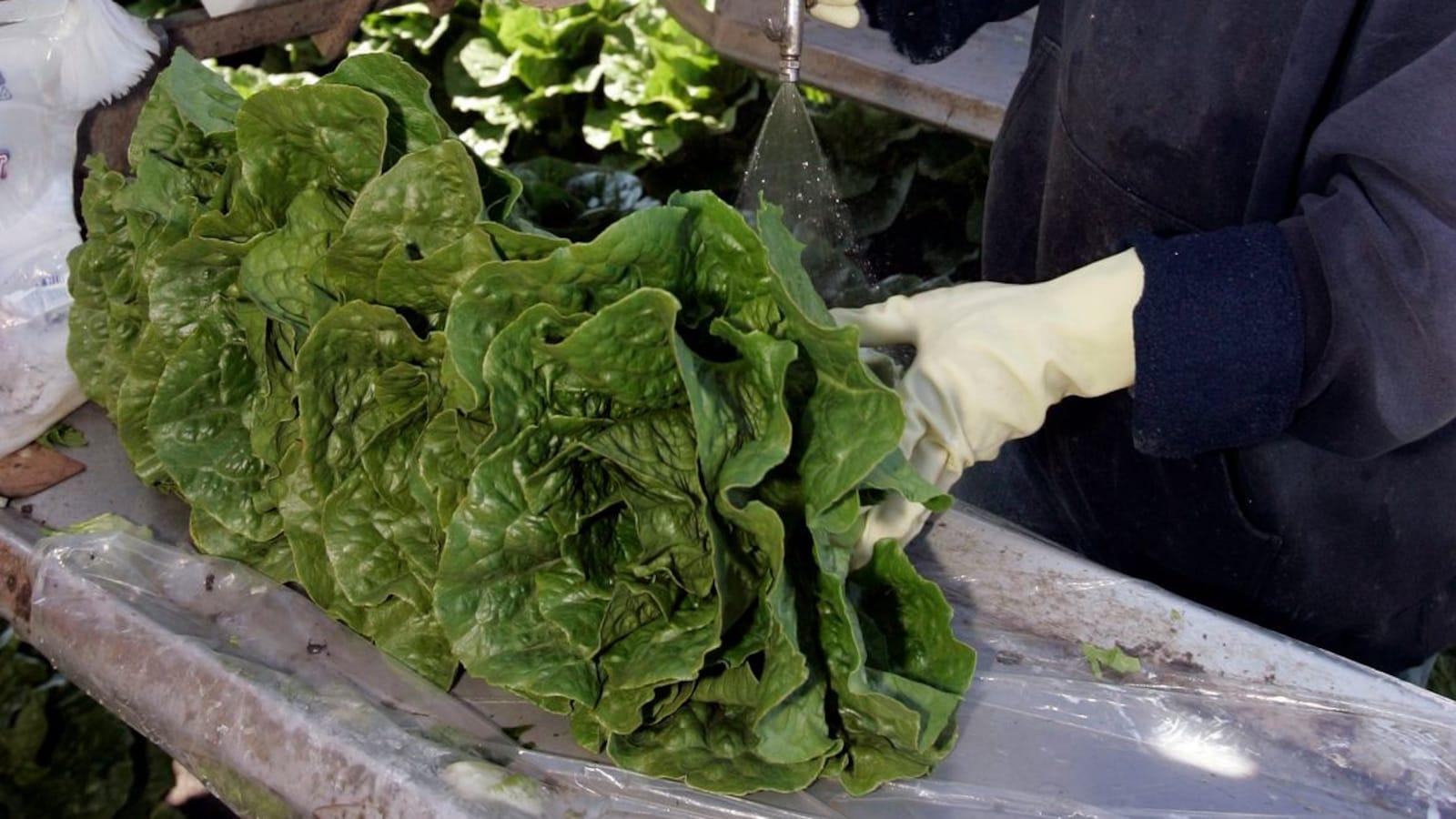 Santé Canada ne conseille plus aux résidents des provinces touchées d'éviter de consommer de la laitue romaine.