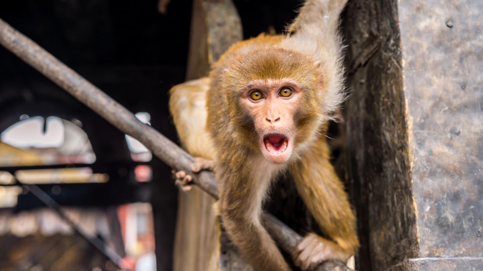 Des gènes du cerveau humain sur des singes — Chine-expérimentation