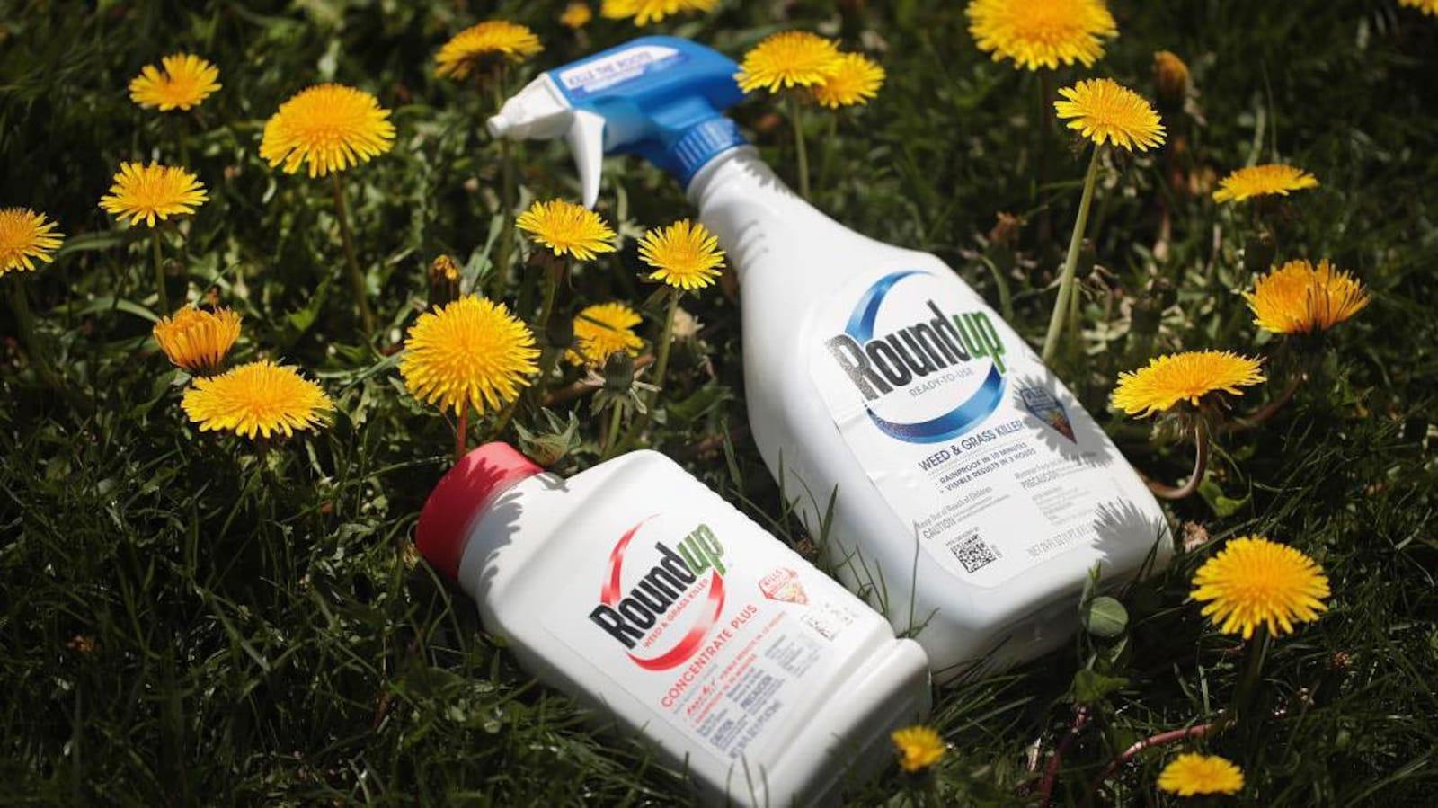 Des bouteilles de Roundup déposés sur du gazon et entourées de pissenlits.
