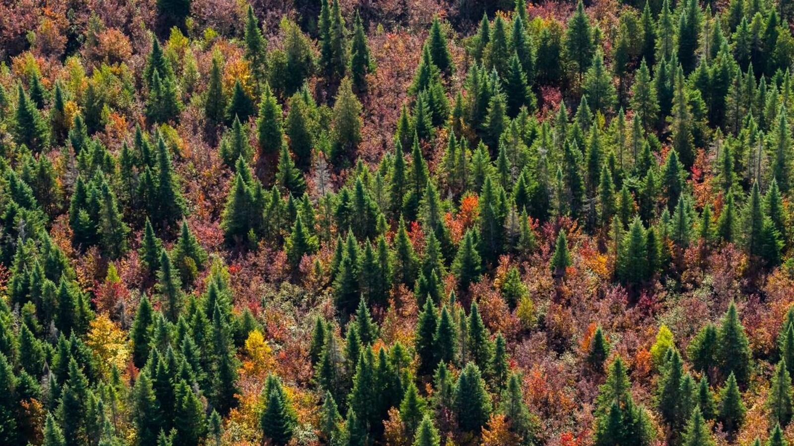 Une forêt boréale remplie de sapin et d'arbres de couleurs.